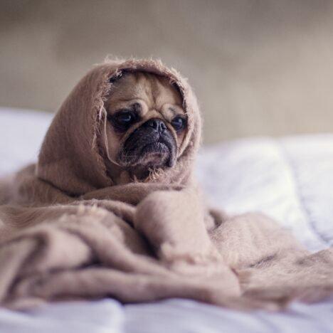 Köpeklerde kızgınlık nasıl önlenir ?